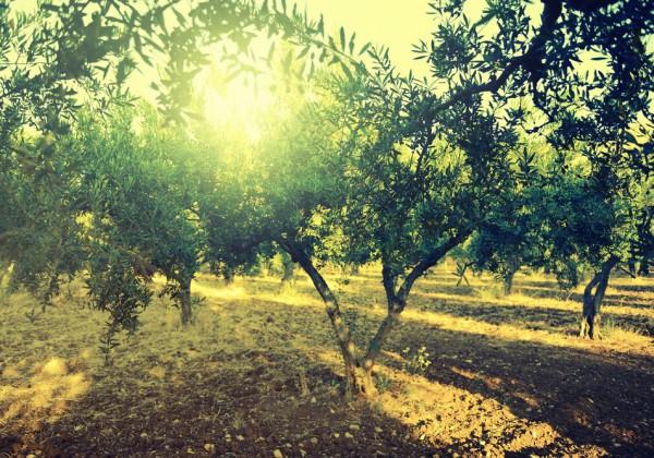 Olivenbäume Portugal